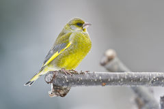 European greenfinch standing on a branch Stock Photo