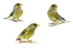 European Greenfinch on white, carduelis chloris Stock Images