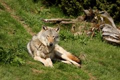 Free EUROPEAN GREY WOLF Stock Photo - 5223120