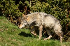 Free EUROPEAN GREY WOLF Stock Images - 5223164