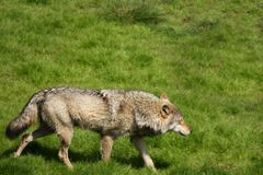 Free EUROPEAN GREY WOLF Royalty Free Stock Photo - 5225175