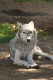 European Grey Wolf Royalty Free Stock Photo