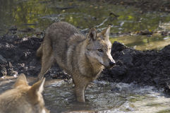European grey wolf (Canis lupus lupus). A grey wolf walking in the pond Royalty Free Stock Photos