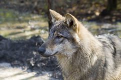 European grey wolf (Canis lupus lupus). Portrait of a young European wolf stock photos