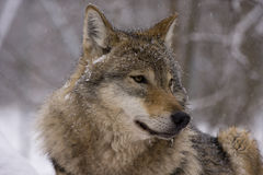 European grey wolf (Canis lupus lupus) Royalty Free Stock Images