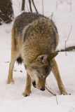 European grey wolf (Canis lupus lupus). A wolf is eating a bone stock images