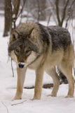 European grey wolf (Canis lupus lupus). A great male European wolf in the snow Royalty Free Stock Image