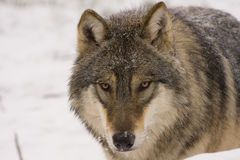 European grey wolf (Canis lupus lupus) Stock Photography