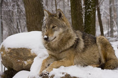 European grey wolf (Canis lupus lupus). A young female European grey wolf lays on rocks stock image
