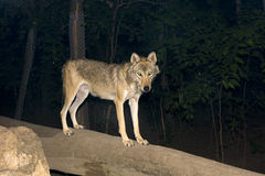European grey wolf (Canis lupus) at night. A female grey wolf at night stock images