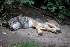 European Grey Wolf, Canis lupus in the zoo stock image