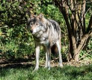 European Grey Wolf, Canis lupus in the zoo royalty free stock image