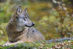 European Grey Wolf Stock Photo