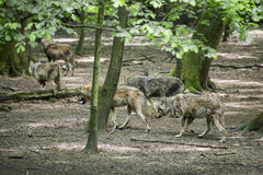 European Grey Wolf pack Royalty Free Stock Photos