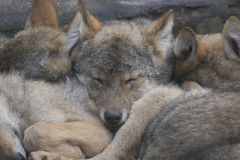 European grey wolf pups cuddling together, Canis lupus lupus Stock Photography