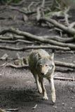European Grey Wolf Stock Image