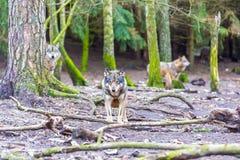 European grey wolf Stock Photography
