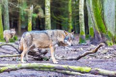 European grey wolf Stock Images