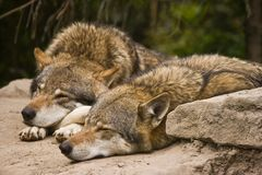 European grey Wolves. Grey wolves resting in the early morning sun Royalty Free Stock Photos