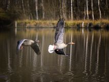 European Greylag Geese Royalty Free Stock Photos
