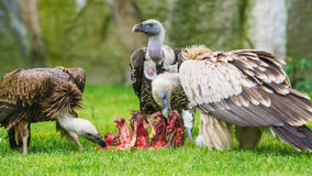 European griffon vultures Stock Photography