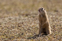 European Ground Squirell or Souslik. (Spermophilus citellus) Standing Royalty Free Stock Photography
