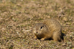 European Ground Squirell or Souslik Royalty Free Stock Images