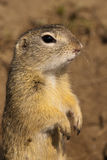 European Ground Squirell or Souslik Portrait Stock Images