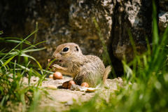 European ground squirell. (Spermophilus citellus Stock Images