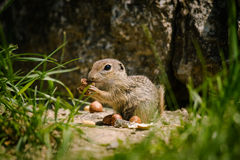 European ground squirell. (Spermophilus citellus Stock Photo