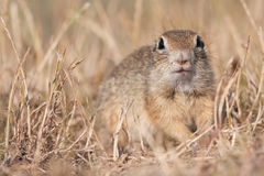 European ground squirrel. Portrait of an European ground squirrel Stock Images