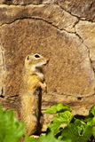European ground squirrel. Standing and looking to the distance royalty free stock photos