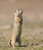 European ground squirrel Stock Image