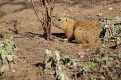 European ground squirrel Royalty Free Stock Image