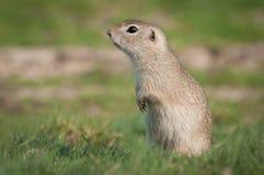 European ground squirrel Royalty Free Stock Photos
