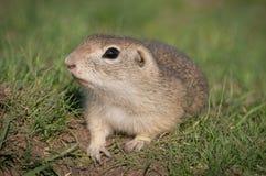 European ground squirrel Royalty Free Stock Image