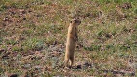 European ground squirrel alarming stock video footage