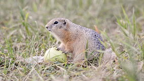 European ground squirrel Stock Photography