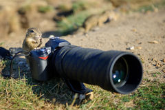 European ground squirrel as a photographer with big professional camera. On sandy ground stock photos