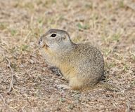 European ground squirrel, Citellus citellus Stock Image