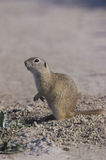 European ground squirrel,  Citellus citellus Stock Photography
