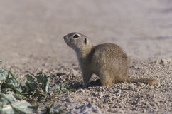 European ground squirrel,  Citellus citellus Royalty Free Stock Photography
