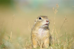 European ground squirrel from close front view Royalty Free Stock Image