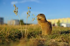 European ground squirrel close to city. European ground squirrel with city buildings in background royalty free stock images