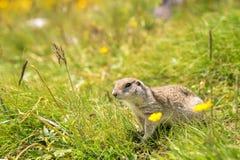 European ground squirrel. Close up Scouting Caucasian ground squirrel carefully watching royalty free stock image