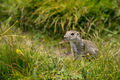 European ground squirrel. Close up Scouting Caucasian ground squirrel carefully watching royalty free stock photography