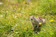 European ground squirrel. Close up Scouting Caucasian ground squirrel carefully watching royalty free stock photo