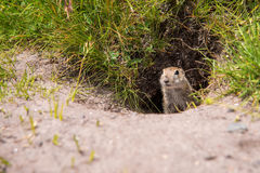 European ground squirrel. Close up Scouting Caucasian ground squirrel carefully watching royalty free stock photos