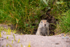 European ground squirrel. Close up Scouting Caucasian ground squirrel carefully watching royalty free stock images