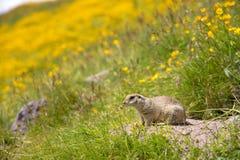 European ground squirrel. Close up Scouting Caucasian ground squirrel carefully watching stock photos